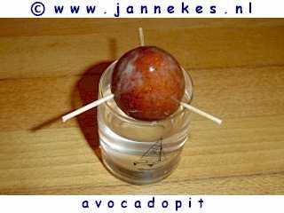 avocadopit planten